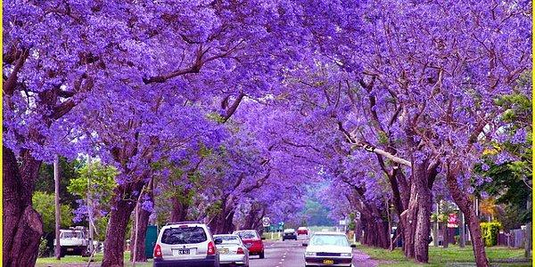 Take Another Look At Buenos Aires With Its Dazzling Jacaranda