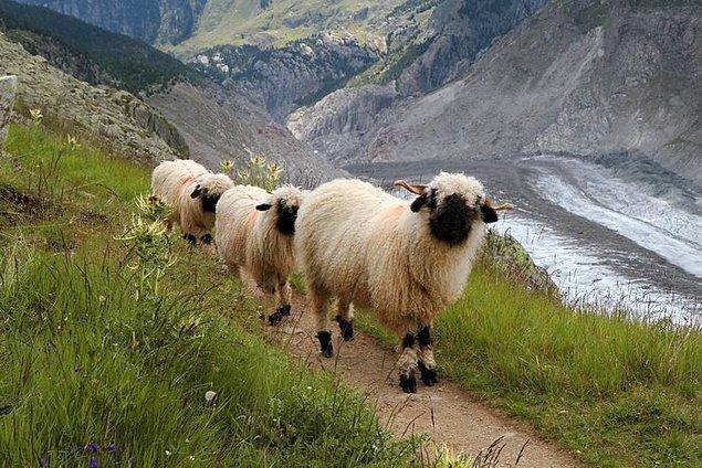 10. Ve sürekli kameraya bakıyorlar. Fotojenik koyunlar. :)