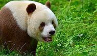 The World's Only Brown Panda Is, Literally, One Of A Kind!