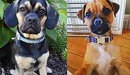 This Is What Happens When You Cross A Pug With Other Dog Breeds!