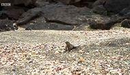 Survivor Iguana Saves The Day By Escaping A Snake Attack!