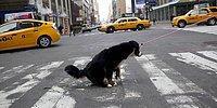 Когда собака знает правила дорожного движения лучше, чем люди