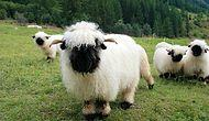 Cute Or Terrifying? 17 Pictures Of Valais Blacknose Sheep