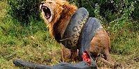 10 сумасшедших битв животных, снятых на камеру