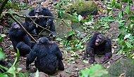 Wars Aren't Unique To Humans: Bloody 4-Year Gombe Chimpanzee War