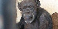 Argentinian Judge Declares Chimpanzee Cecilia Has To Be Freed From Zoo
