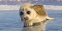 Редкие кадры любопытного тюленя, который отважился на фотосъёмку