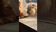 Малыш в костюме льва знакомится с настоящим царем зверей