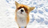 15 Winter Fox Photos That Would Surely Steal Your Heart!