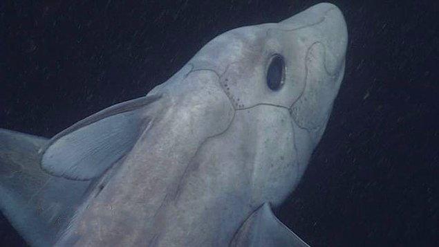 Daha önce hiç görmediğiniz, gizemli bir tür olan derin deniz hayalet köpek balığı ile biraz daha yakından tanışın.