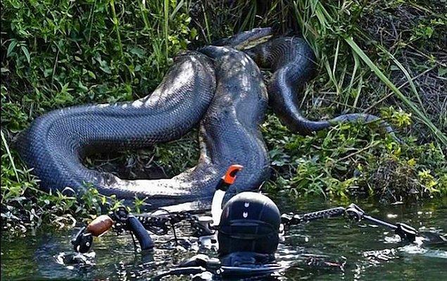 14. Bugüne kadar yakalanan en büyük anakonda 5 metre, 98 kilo kadar.