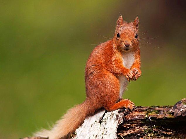 6. Birleşik Krallık'ta yaşayan bazı kızıl sincapların genlerinde, Orta Çağ'da insanlarda görülen cüzzam hastalığının izlerine rastlandı.
