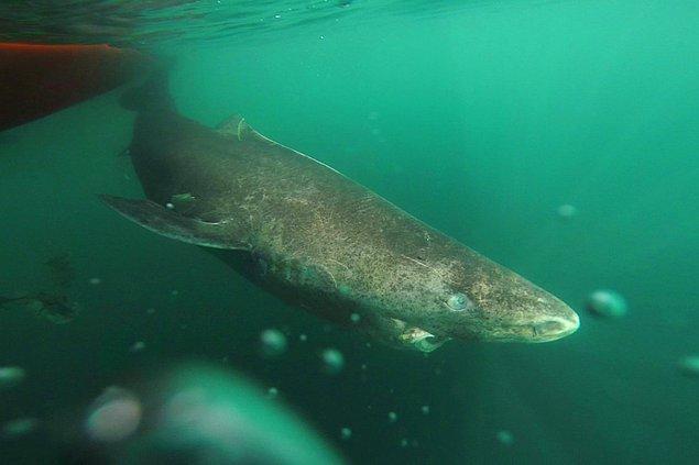 9. Derin sularda yaşayan ve yavaş hareket eden 400 yaşında bir köpek balığı bulundu.