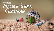 Как паук-скакун праздновал католическое Рождество