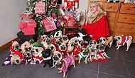 Британка тратит бешеные деньги на рождественские подарки своим 30 мопсам