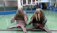 """Талантливые моржи танцуют под """"Pen Pineapple Apple Pen"""""""