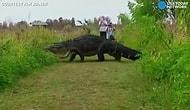 Гигантский аллигатор устроил переполох во Флориде