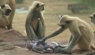 """Обезьяны тоже плачут: приматы устроили траур по """"погибшему"""" детенышу-роботу"""