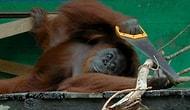 Орангутан пилит дерево, как заправский столяр!