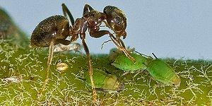 Meet 'Farmer Ants', Who Plant, Fertilize, Harvest, And Eat!