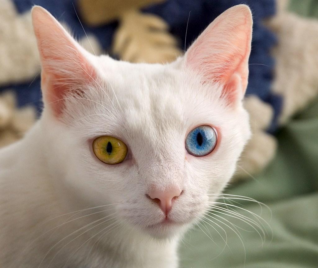 Глаза кошки разного цвета глаза у