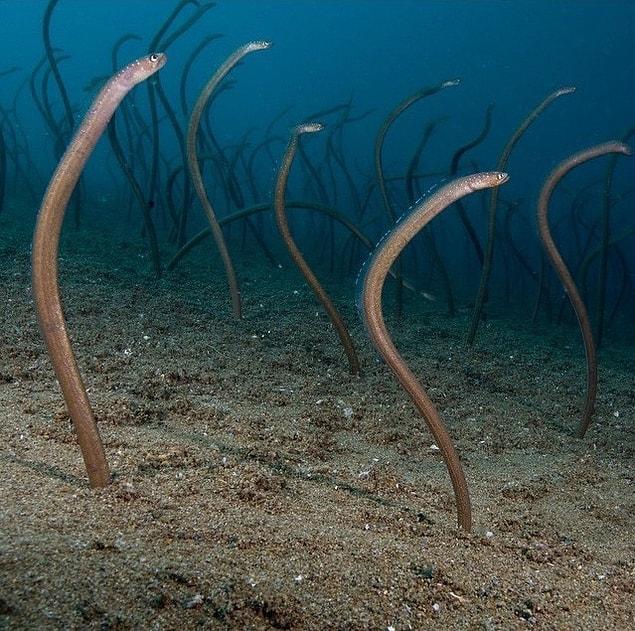 """Их называют """"Сад угрей"""", и они обитают на дне морском"""