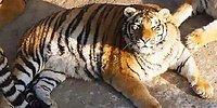 Располневшие амурские тигры покорили соцсети