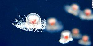 This Jellyfish May Actually Make Humans Immortal!