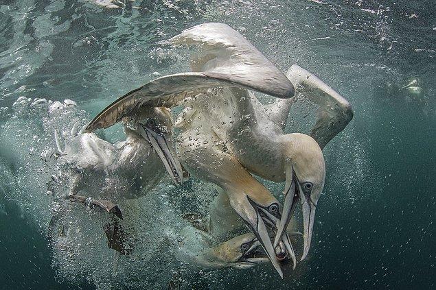 10. Sümsük kuşları avına hücum ediyor.