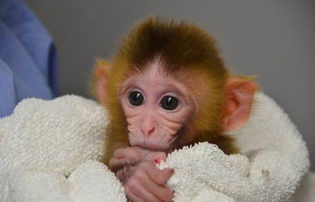 8. Hint Maymunu Tetra