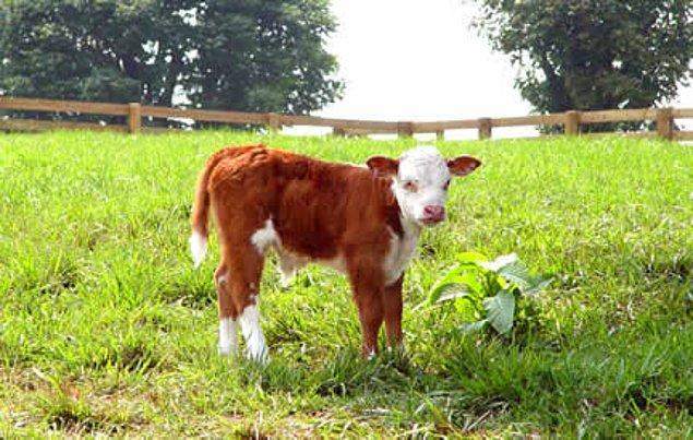 9. Yabani Sığır Noah