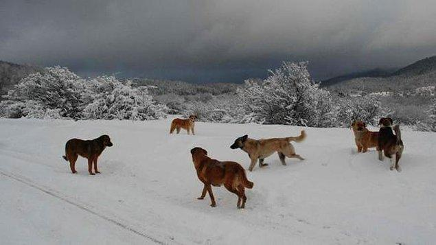 ⚠️Yakın kaynaklardan aldığımız haberlere göre Bolu'nun kayak merkezi Kartalkaya'da kardan donmaya bırakılmış birçok köpek bulunuyor.⚠️