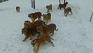 Когда решил сфотографировать тигров на дрон, но что-то пошло не так 🙈