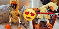 Heartwarming Story Of A Rescue Goat With Anxiety Who Won't Take Off Her Duck Costume!