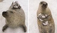 Пик мимимишности: Тюлень, обнимающийся с мягкой игрушкой