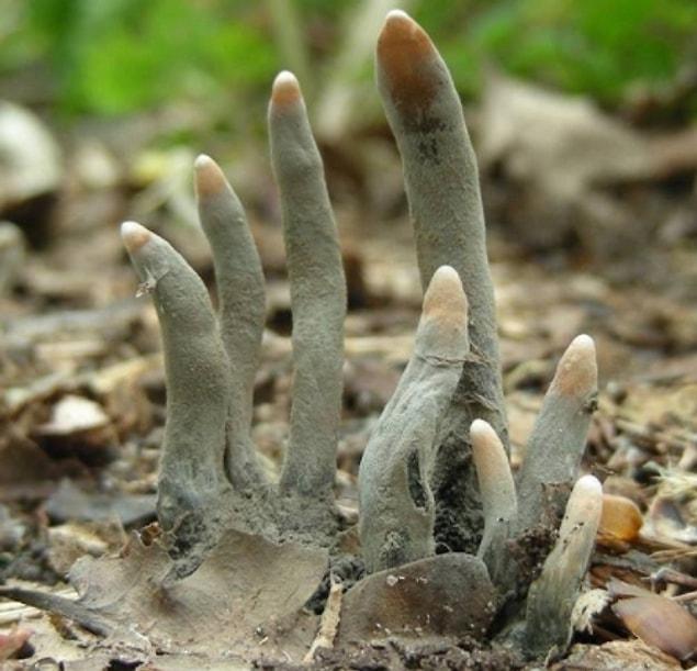 """А это растение под названием """"Ксилария многообразная"""" или в народе """"Пальцы мертвеца?"""""""