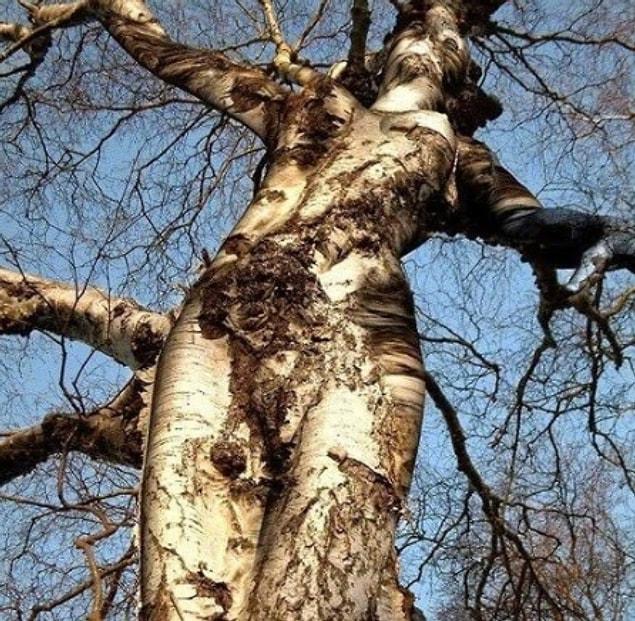 """Во время велопрогулки в лесу вы вдруг видите это дерево и восклицаете: """"Посмотри, это дерево выглядит как распятая женщина!"""""""