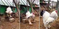 This Freakishly HUGE Chicken Leaves Viewers Scared Over Its Size!