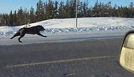 Невероятные кадры: Волки бегут возле машины со скоростью 48 км/ч