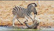 When Wildlife Gets Wild: Zebra Tries To Kill Foal While Mother Fights Back