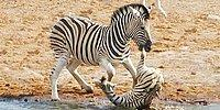 Wild Wild Nature: A Zebra Trying To Kill Another Baby Zebra