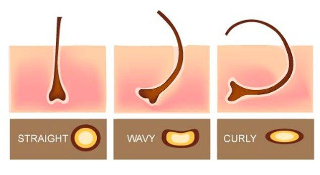 1. Saç şeklini saç kökünün biçimi belirler. Düz saçlar yuvarlak köklerden çıkarken, kıvırcık saçlar elips saç köklerinden çıkar.