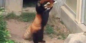 Red Panda Vs. The Rock Is The Cutest Animal Moment We Have Seen In A While