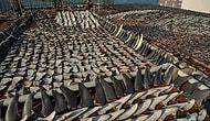 Ужасающие кадры: бесчеловечное истребление акул