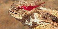 The Weirdest Defense? This Lizard's Eyes Squirt Blood, Yes, Blood.