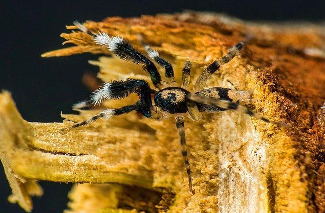 Avustralya'daki örümceklerin bu kadar çeşitli olması, ikliminin zenginliğine ve yağışlı olmasına etki ediyor.