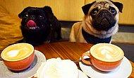 В Суррее откроется специальное кафе для мопсов!