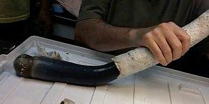 A Live, Long And Rare Black Giant Shipworm Found In The Philippines