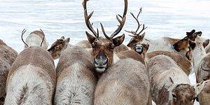 Массовое убийство 20 тыс. северных оленей в Сибири браконьерами