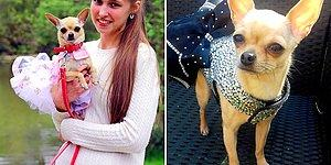 This Woman Spends Over $12k (£10k) Buying Dresses For Her Chihuahua!